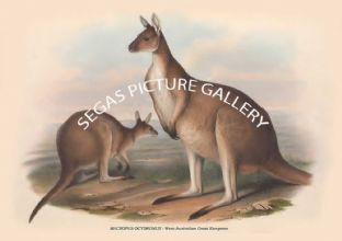 MACROPUS OCYDROMUS -- West-Australian Great Kangaroo